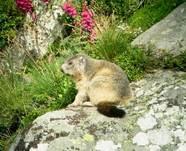 Randonnée Marmottes Mouflons