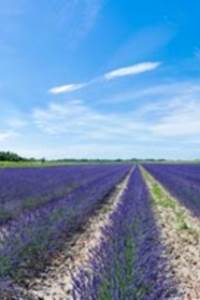 Découverte de la culture des plantes à parfum et de la distillation
