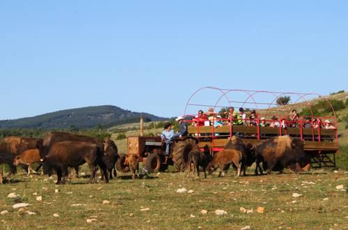 La visite du troupeau de bisons ©