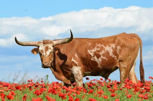 longhorn ranch ©