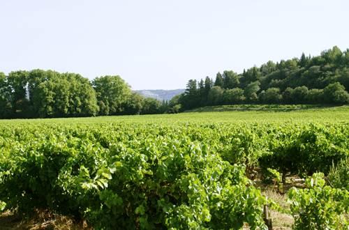 Vignes d'été © St Paulet Vignobles