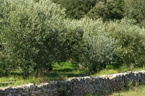 olivette ©