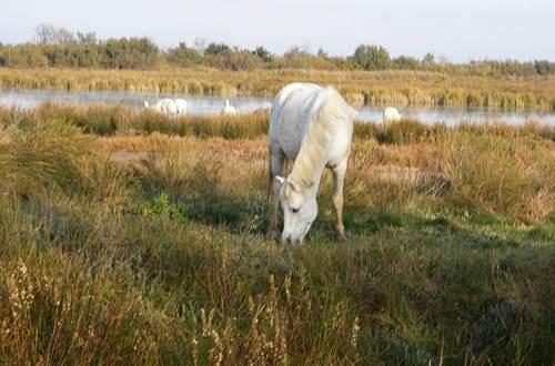 Cheval de Camargue ©