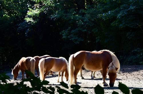 poneys-du-val-d-emeraude ©