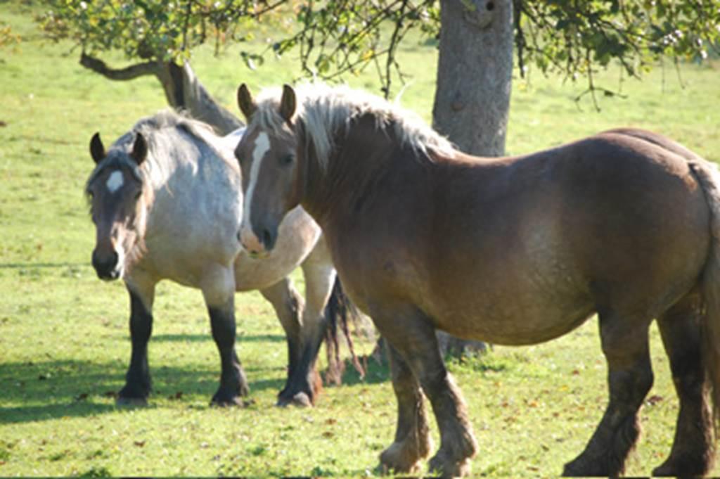 chevaux ardennais